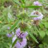 Мята водная (Mentha cervina)