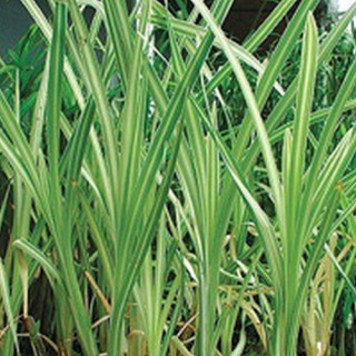 Рогоз широколистый 'Variegata' (Typha latifolia 'Variegata')