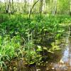 Калла болотная (Белокрыльник)