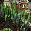 Ирис 'Gerald Darby' (Iris versicolor 'Gerald Darby')
