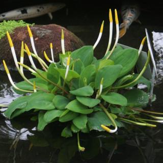 Оронтиум водный (Orontium aquaticum)