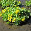 Калужница болотная махровая 'Plena' (Caltha palustris 'Plena')
