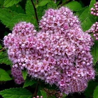 Спирея японская 'Little princess' (Spiraea japonica 'Little princess')