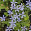 Лаурентия речная 'Dunkelblau'  (Isotoma fluviatilis 'Dunkelblau')