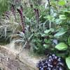 Вербейник пурпурный (Lysimachia atropurpurea)