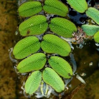 Сальвиния плавающая (Salvinia natans)