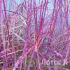 Мискантус китайский 'Purple Fall' (Miscanthus sin. 'Purple Fall')