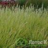 Молиния голубая 'Moorhexe' (Molinia caerulea 'Moorhexe')