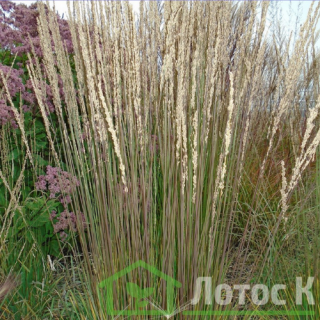 Молиния тростниковая 'Karl Foerster' (Molinia arundinacea  'Karl Foerster')