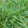 Двукисточник тростниковый 'Tricolor' (Phalaroides arundinacea 'Tricolor')