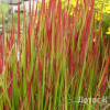 Императа целиндрическая 'Red Baron' (Imperata cylindrica 'Red Baron')