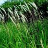 Императа цилиндрическая (Imperata cylindrica)