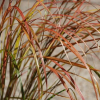 Ковыль тростниковый (Stipa arundinacea)
