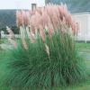 Кортадерия 'Pink Feather' (Cortaderia 'Pink Feather')