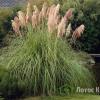 Кортадерия (Пампасная трава) 'Rosea' (Cortaderia sell. 'Rosea')