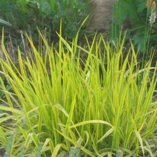 """Лисохвост """"Aureovariegatus""""(Alopecurus pra. Aureovariegatus)"""