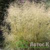 Луговик дернистый 'Goldtau' (Deschampsia cesp. 'Goldtau')