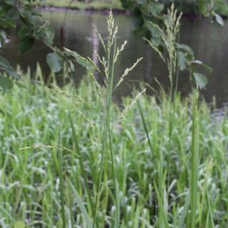 Манник великий (Glyceria maxima)