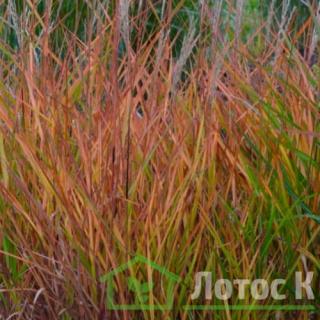 Мискантус китайський пурпурний ( Miscanthus sin. Purpurascens)