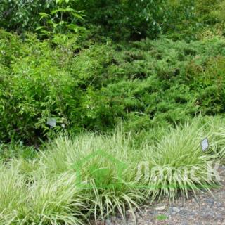 Молиния голубая (Molinia caerulea)