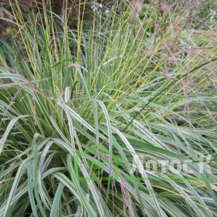 Молиния голубая вариегатная (Molinia caerulea Variegata)