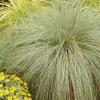 Осока власовидная 'Frosted Curls' (Carex comans 'Frosted Curls')