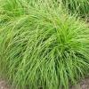 Осока гибридная 'The Beatles' (Carex caryophyllea 'The Beatles')