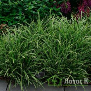 Осока Морроу 'Vanilla Ice' (Carex morrowii 'Vanilla Ice')