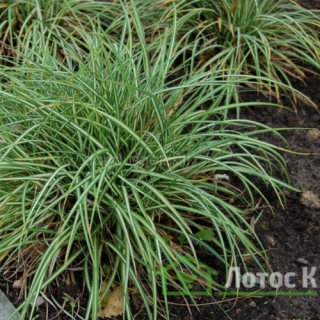Осока птиценожковая 'Variegata' (Carex ornithopoda 'Variegata')