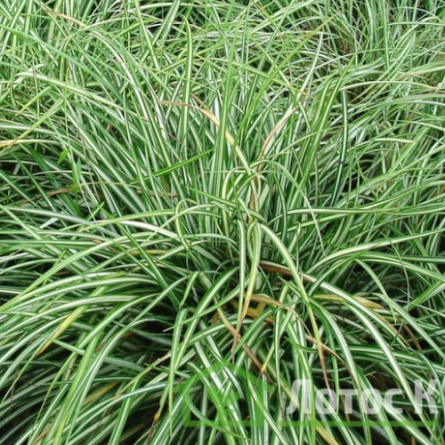 "Осока птиценожковая ""Variegata"" (Carex ornithopoda ""Variegata"")"