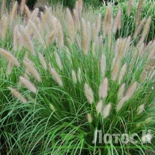 Пеннисетум лисохвостый (Pennisetum alopecuroides)