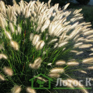 Перистощетинник лисохвостий 'Cassian' (Pennisetum al. 'Cassian')