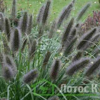 Перистощетинник лисохвостый 'Black Beauty' (Pennisetum al. 'Black Beauty')