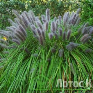 Перистощетник лысохвостный 'Moudry' (Pennisetum al. 'Moudry')