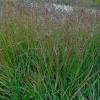 Просо лозовидне 'Squaw' (Panicum virgatum 'Squaw')