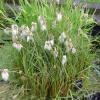 Пущица узколистая (Eriophorum angustifolium)