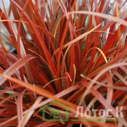 Унциния красная (Uncinia rubra)