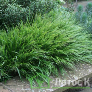 Хаконехлоа большая (Hakonechloa macra)