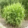 Хасмантиум широколистный/Дикий овес  (Chasmanthium latifolium)
