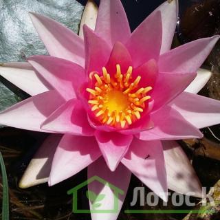 Нимфея 'Rosy Morn' (Nymphaea 'Rosy Morn')