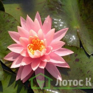 Нимфея 'Sunny Pink' (Nymphaea 'Sunny Pink')