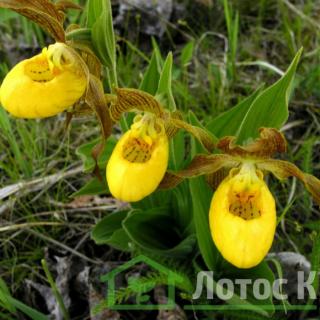 Циприпедиум/Башмачек мелколистный (Cypripedium pubescens)