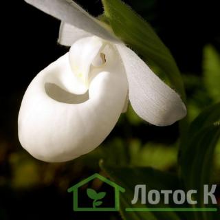 Циприпедиум/Башмачек королевы белый (Cypripedium reginae alba)