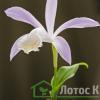 Плейоне формозская (Pleione formasana)