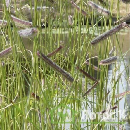 Бутелуа изящная (бизонья трава) (Bouteloua gracilis)
