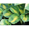 "Хоста ""Dream queen"" (Hosta ""Dream Queen"")"