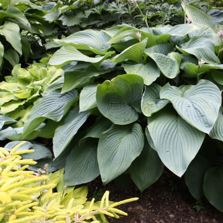 "Hosta  'Empress Wu' (Хоста ""Empress wu"" )"