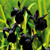 "Ирис ""Black form"" (Iris chrysog. ""Black Form"")"