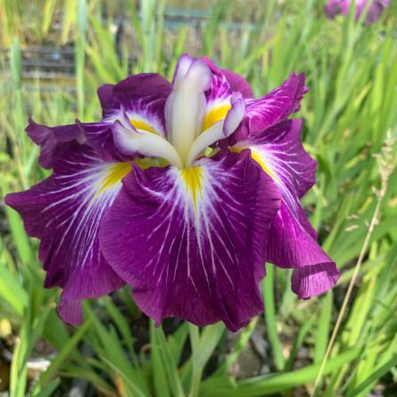 Ирис мечевидный 'Dinner Plate Jell-O' (Iris ensata 'Dinner Plate Jell-O')