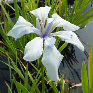 Ирис гладкий 'Snowdrift' (Iris laevigata 'Snowdrift')